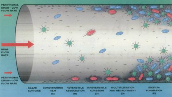 biofilm formation illustrated diagram